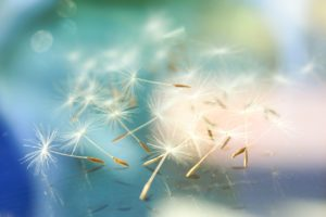 image of dandelion seeds with bokeh background